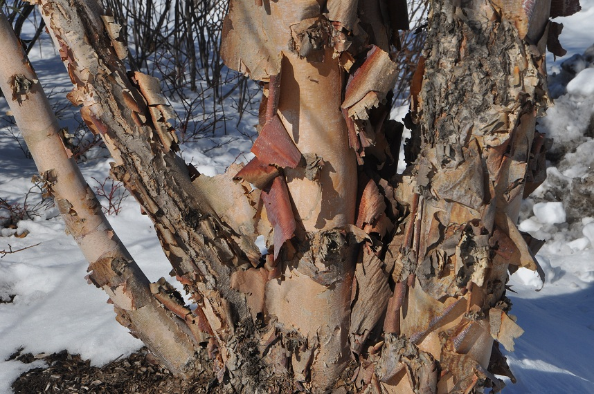 River Birch Bark