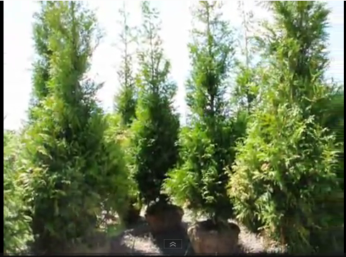 Thuja Green Giant.... The Most Popular Screening Tree