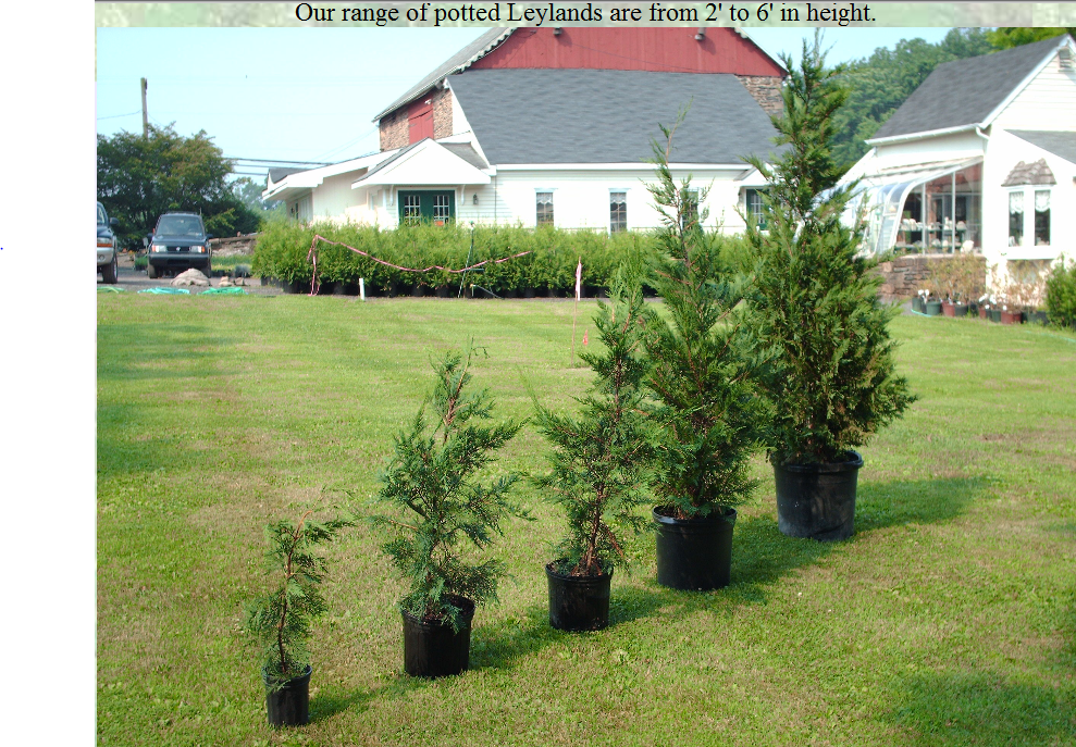 Leyland Cypresses in pots we sell