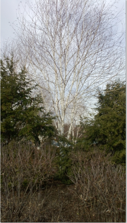 Whitespire Birch Tree in a Landscape Application