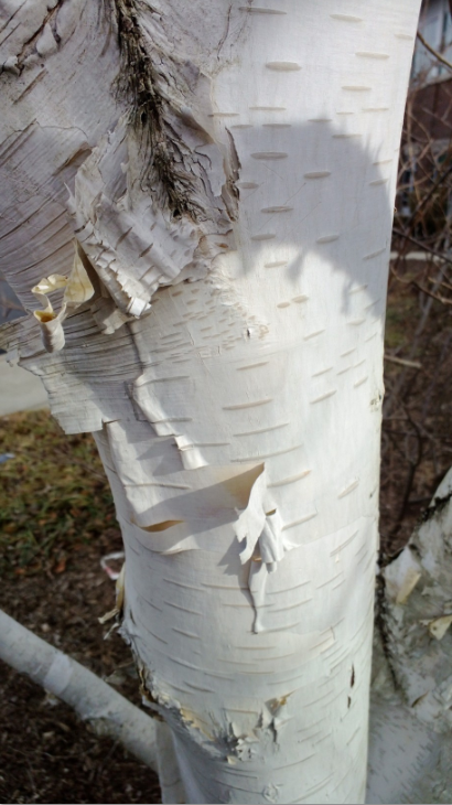 Whitespire Birch Tree Bark