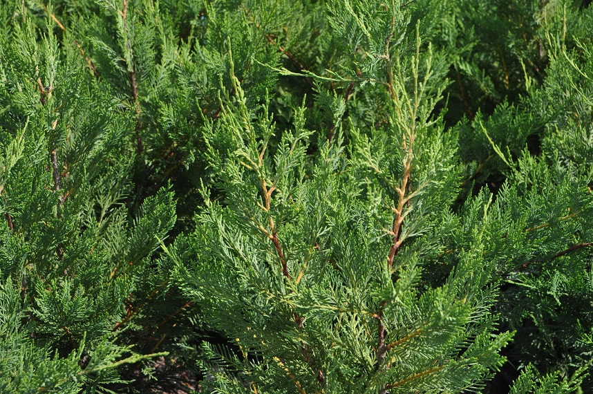   Leyland Cypress Foliage 