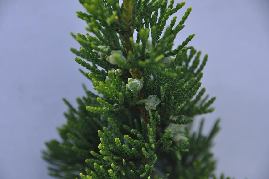 White Cedar Foliage