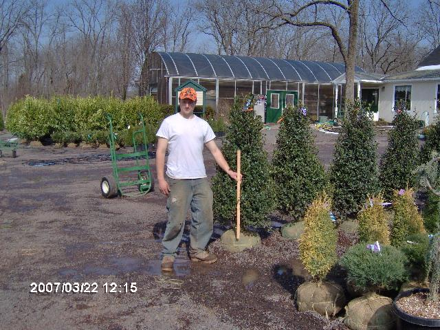 Our 4-5' Blue Girl Hollies  
