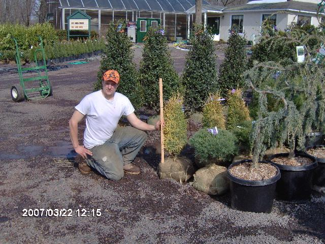 Our Gold Cone Junipers