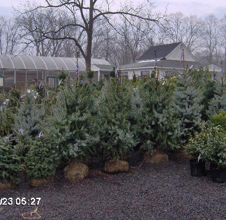 Picea omorika 'Berliners Weeper'