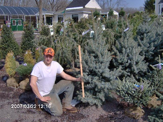 Picea pungens 'Bakeri' Picea pungens 'Bakeri' has wonderful powder blue color who final height is 10 to 12 feet tall.  They are $150 each.