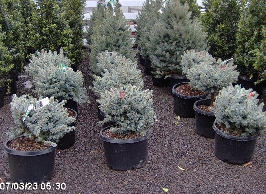 Picea pungens 'Glauca Globosa' For smaller conifers in a landscape, Picea pungens 'Glauca Globosa' is a wonderful consideration.  They stay small about 3 feet tall and they are very compact.  Their light blue color is very desirable and are $140 each.