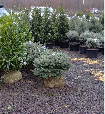 Picea pungens 'Hunnewelliana'
