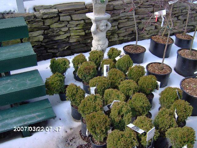 Thuja 'Teddy' The Teddy is a globular, slow-growing arborvitae who has an attractive blue-green foliage.  They are $10 each.