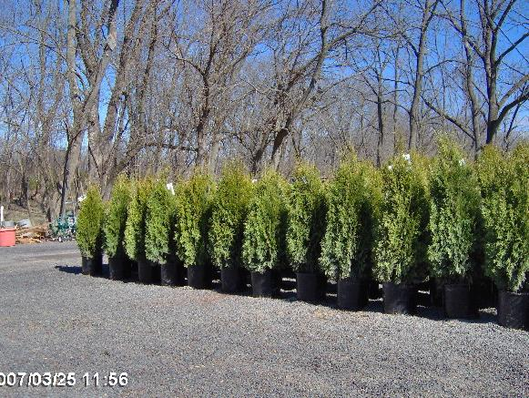 We deliver and plant anywhere on the East Coast. Large trees, plants, arborvitae, green giants, emerald greens, viburnums, burning bushes. We do landscaping and hardscaping. We raise oaks, maples, dogwoods, hollies, natives, wetland plants, wetland plantings, rough areas, dry locations, hemlocks, junipers, serviceberry, apples, fruit trees, Rocks, boulders, flagstone ...we carry it all. Buy from a grower and save.